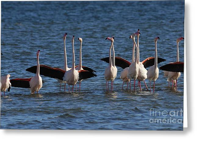 Flock Of Greater Flamingoes  Greeting Card by Sami Sarkis