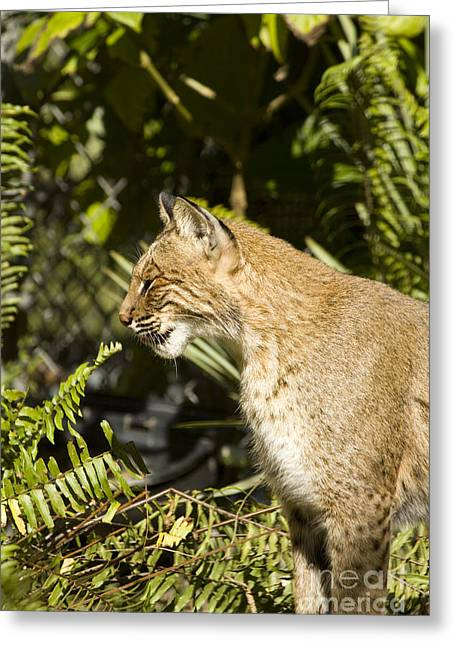 Bobcats Greeting Cards - Florida Bobcat Greeting Card by Anne Rodkin