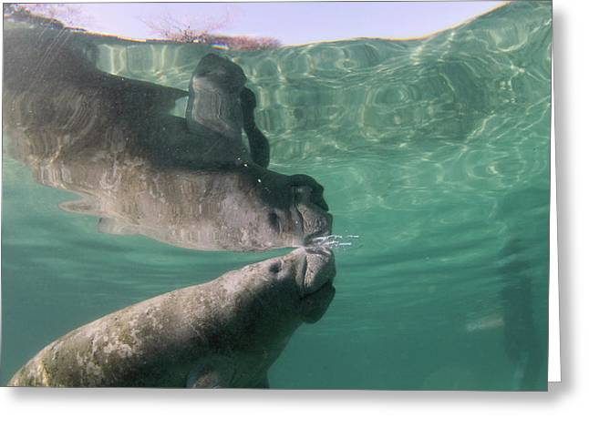 Florida Manatee Taking Air At Surface Greeting Card by Michael Szoenyi
