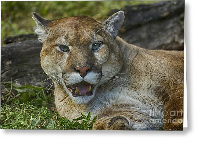 Wildlife Refuge. Greeting Cards - Florida Panther Greeting Card by Anne Rodkin