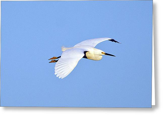 Florida, Venice, Snowy Egret Flying Greeting Card by Bernard Friel