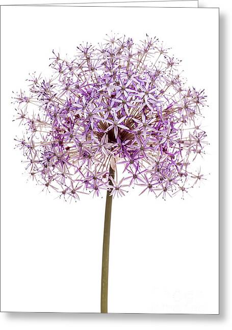Star Shape Greeting Cards - Flowering onion Greeting Card by Elena Elisseeva