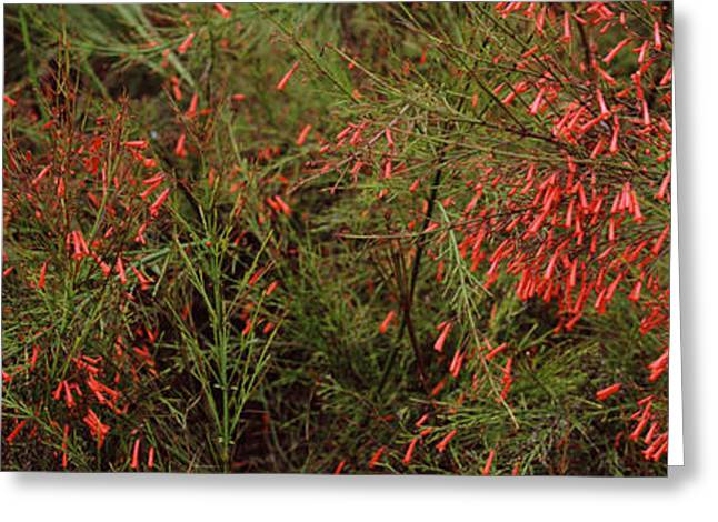 Firecracker Greeting Cards - Flowers On Coral Plants Russelia Greeting Card by Panoramic Images
