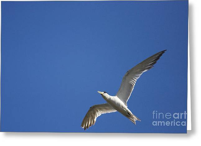 Flying Seagull Greeting Cards - Flying Crested Tern Greeting Card by Ryan Jorgensen