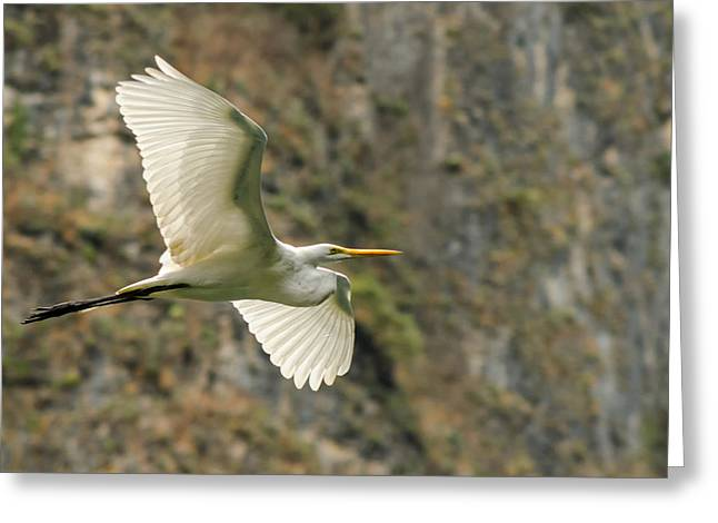 Flying Great Egret Greeting Card by Jess Kraft