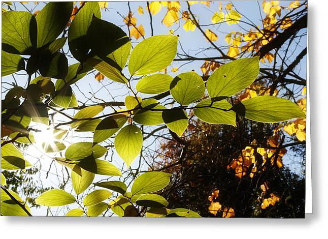Leaf Change Greeting Cards - Forest sunlight Greeting Card by Les Cunliffe