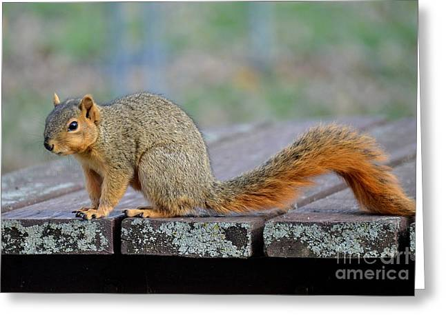 Fox Squirrel Greeting Cards - Fox Squirrel Greeting Card by Charles Trinkle