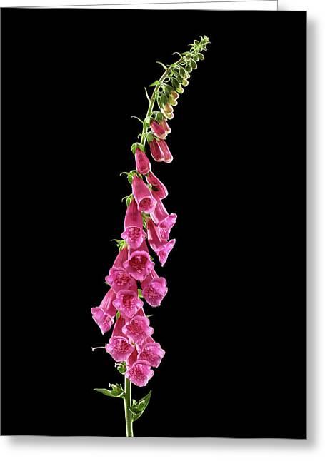 Foxglove (digitalis Purpurea) Greeting Card by Gilles Mermet