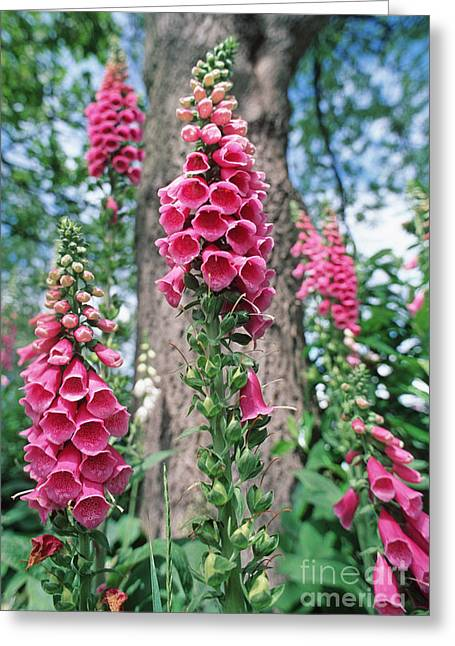 Foxglove Flowers Greeting Cards - Foxglove Flowers Greeting Card by Georgette Douwma