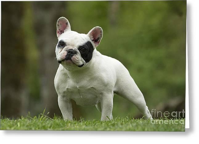 Concern Greeting Cards - French Bulldog Greeting Card by Jean-Michel Labat