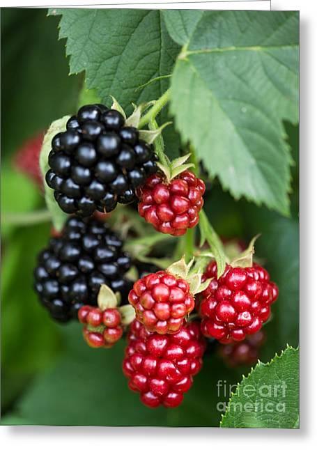 Fresh Blackberry On Bush Greeting Card by Iris Richardson