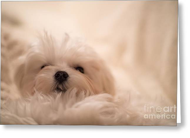 Maltese Photographs Greeting Cards - Fresh From A Long Winters Nap Greeting Card by Lois Bryan