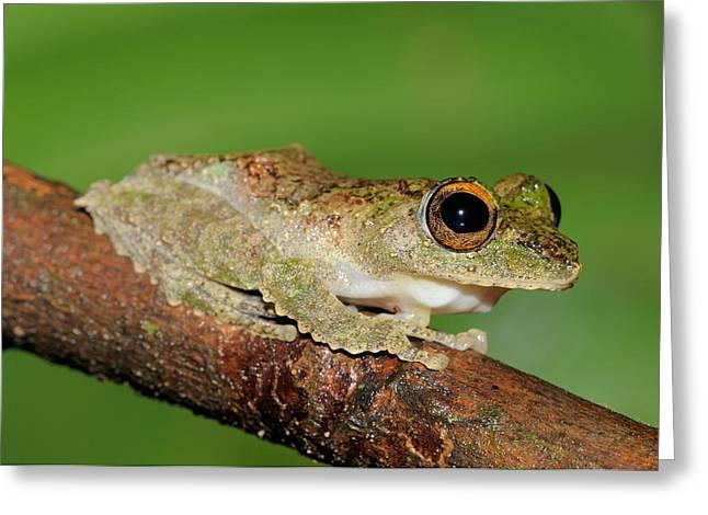 Frilled Tree Frog, Malaysia Greeting Card by Fletcher & Baylis