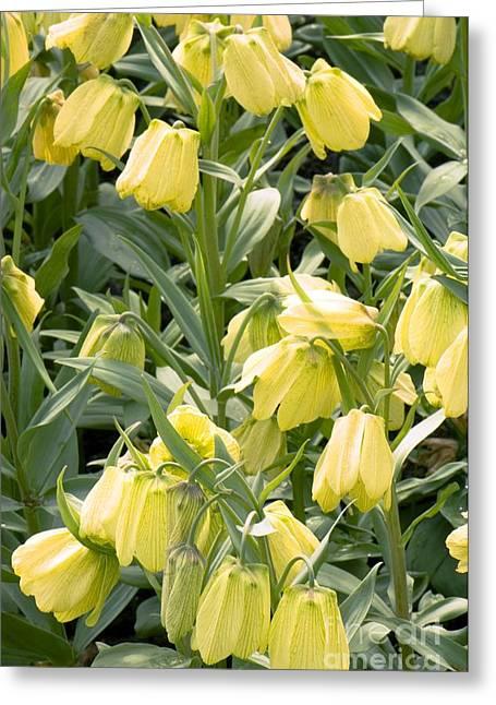 Biology Greeting Cards - Fritillaria Pallidiflora Greeting Card by Adrian Thomas