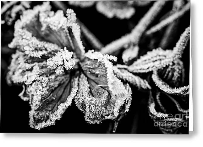 Frost Photographs Greeting Cards - Frosty flower Greeting Card by Elena Elisseeva