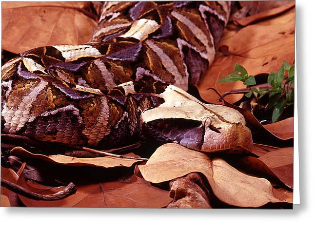 Best Sellers -  - Large Scale Greeting Cards - Gaboon Viper Greeting Card by John Bell
