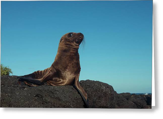 Galapagos Sea Lion Pup (zalophus Greeting Card by Pete Oxford