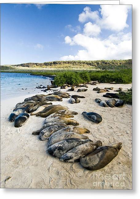 Galapagos Wildlife Greeting Cards - Galapagos Sea Lions Greeting Card by William H. Mullins