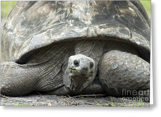 Galapagos Wildlife Greeting Cards - Galapagos Tortoise Greeting Card by Mark Newman