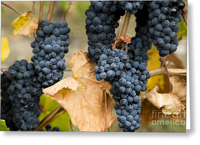 Gamay Photographs Greeting Cards - Gamay Noir Grapes Greeting Card by Kevin Miller