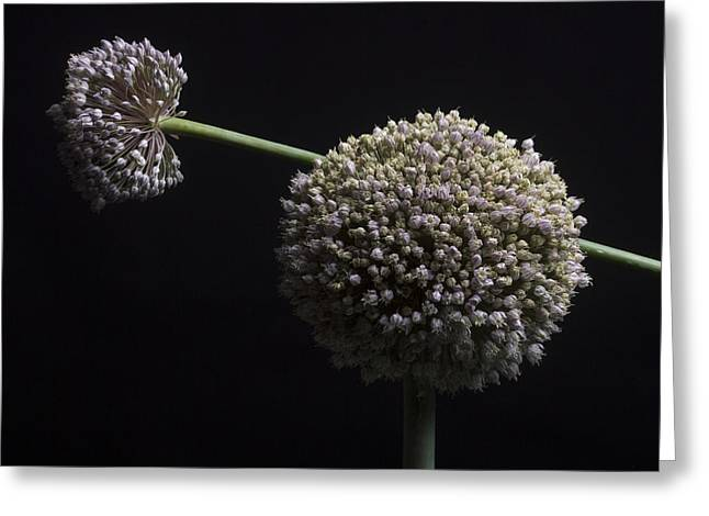 Ornamental Plants Greeting Cards - Garlic flowers. Allium. Greeting Card by Bernard Jaubert