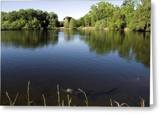 Gigapan Greeting Cards - Gator Greeting Card by William Ragan