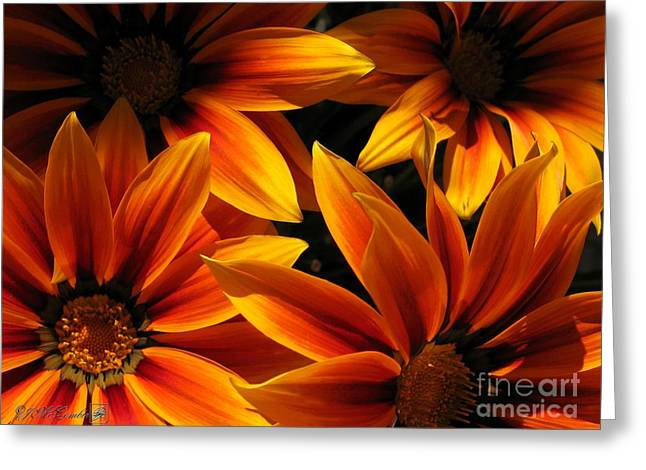 Mccombie Greeting Cards - Gazania named Kiss Orange Flame Greeting Card by J McCombie