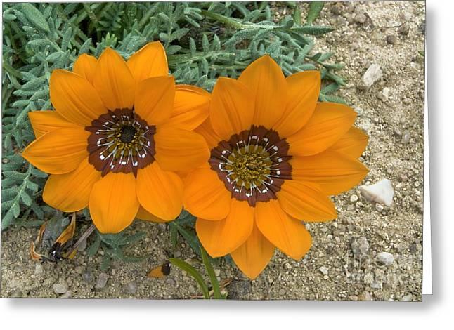 Northern Africa Greeting Cards - Gazania Pectinata Flowers Greeting Card by Peter Chadwick