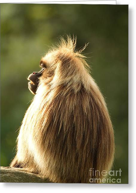 Sitting On Rock Greeting Cards - Gelada Baboon Greeting Card by Helmut Pieper