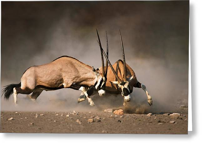 Intense Greeting Cards - Gemsbok fight Greeting Card by Johan Swanepoel