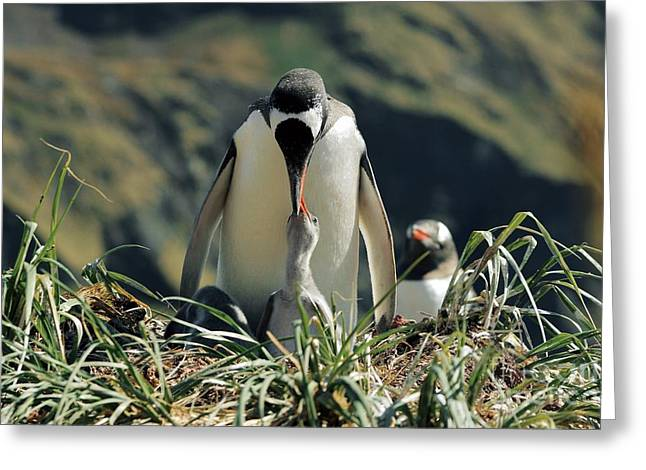 Gentoo Penguin Feeding Chick Greeting Card by Charlotte Main