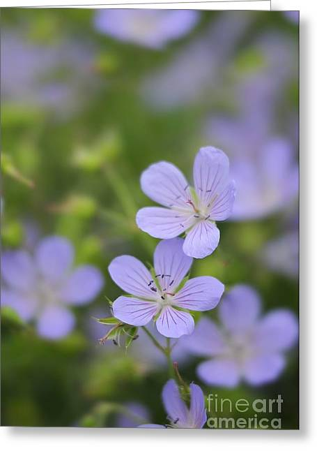 Geranium Flower Close Up Greeting Cards - Geranium Blue Cloud In Flower Greeting Card by Colin Varndell