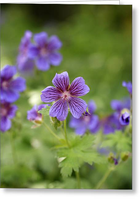 Geranium Greeting Cards - Geranium Himalayense Greeting Card by Frank Tschakert