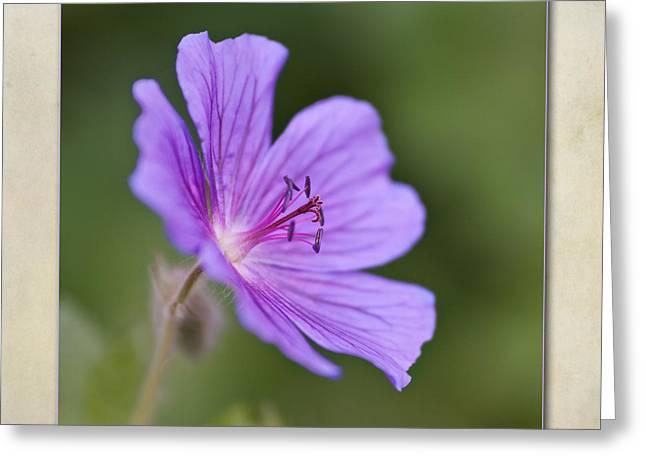Stamen Greeting Cards - Geranium maculatum Greeting Card by John Edwards