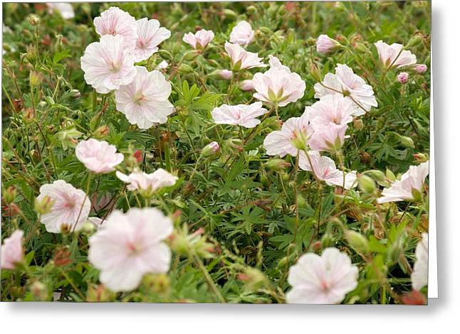 Geranium Flower Close Up Greeting Cards - Geranium sanguineum var striatum Greeting Card by Science Photo Library