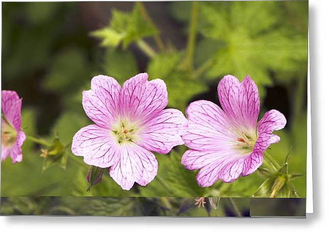 Geranium Flower Close Up Greeting Cards - Geranium x oxonianum Wargrave Pink Greeting Card by Science Photo Library