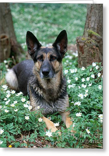 Bred Greeting Cards - German Shepherd Greeting Card by Hans Reinhard