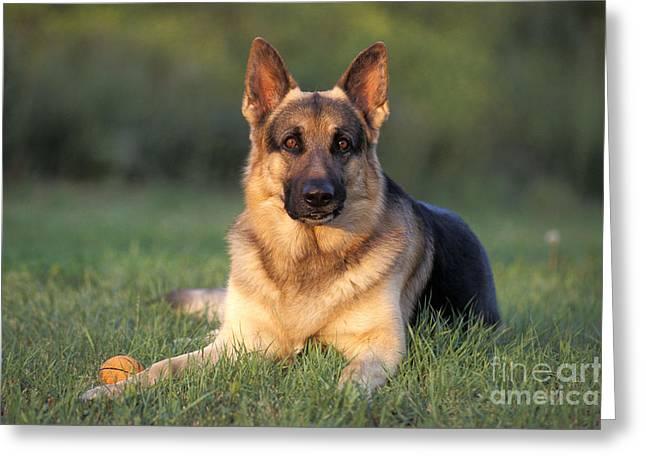 Toy Dog Greeting Cards - German Shepherd Greeting Card by Rolf Kopfle