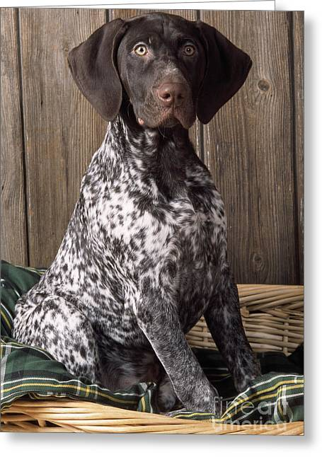 House Pet Greeting Cards - German Short-haired Pointer Dog Greeting Card by John Daniels