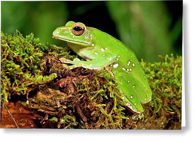 Giant Gliding Treefrog, Polypedates Sp Greeting Card by David Northcott