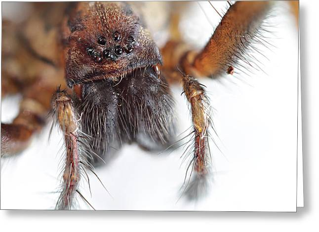 Taxon Greeting Cards - Giant House Spider Greeting Card by Paul Fell