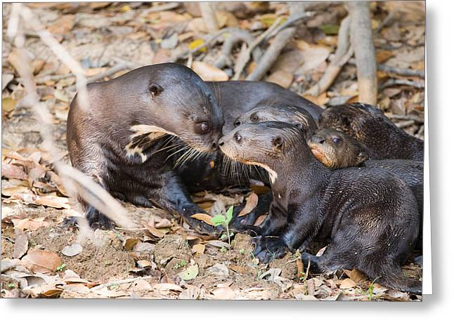Love The Animal Greeting Cards - Giant Otter Pteronura Brasiliensis Greeting Card by Panoramic Images