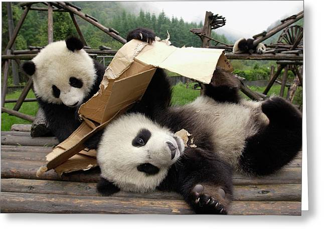 Cardboard Greeting Cards - Giant Panda Ailuropoda Melanoleuca Pair Greeting Card by Katherine Feng