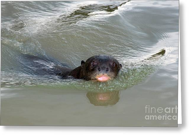 Otter Greeting Cards - Giant River Otter Greeting Card by Gregory G. Dimijian, M.D.