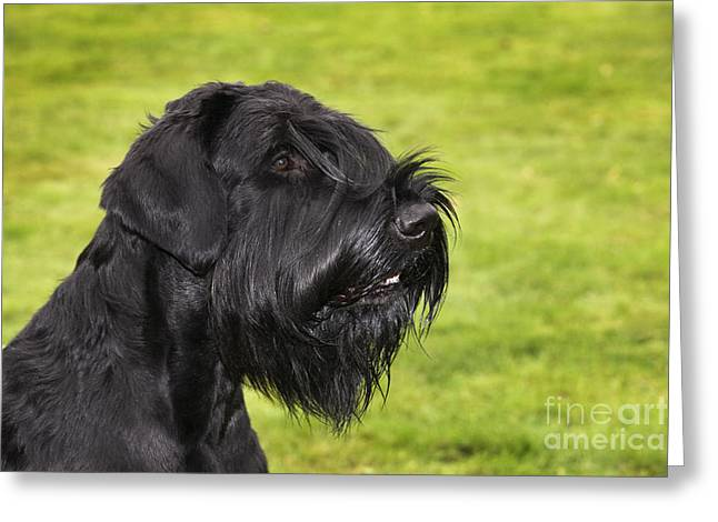 Giant Schnauzer Greeting Cards - Giant Schnauzer Greeting Card by Johan De Meester