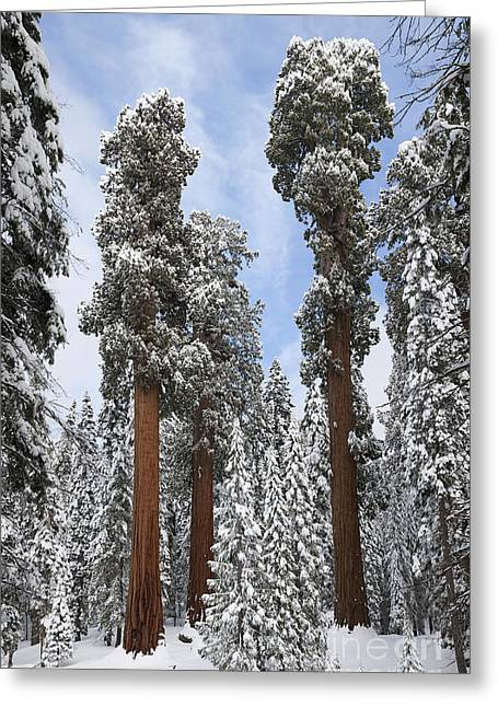 Californian Greeting Cards - Giant Sequoias Greeting Card by Gregory G. Dimijian, M.D.