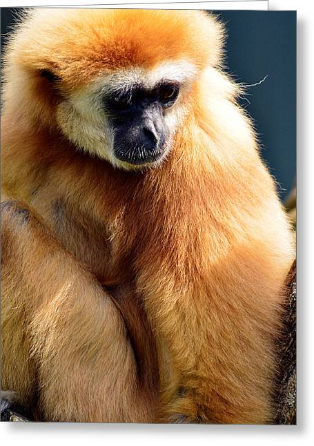 Hiding Greeting Cards - Gibbon monkey  Greeting Card by Toppart Sweden
