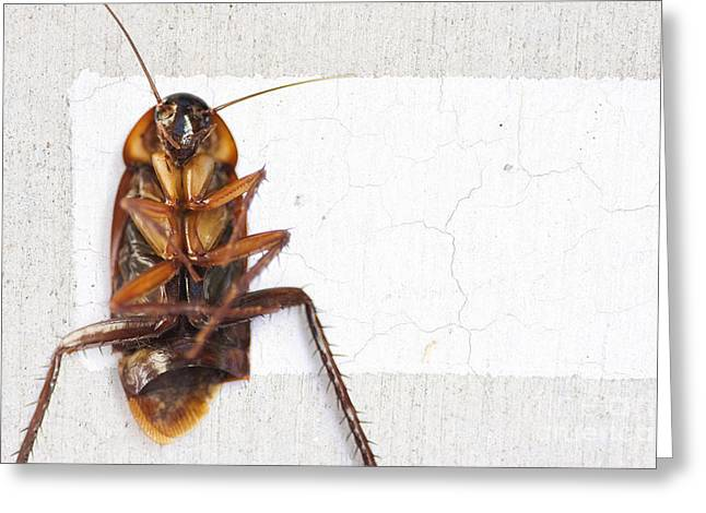 Roach Greeting Cards - Gigantic Road Kill Greeting Card by Ryan Jorgensen