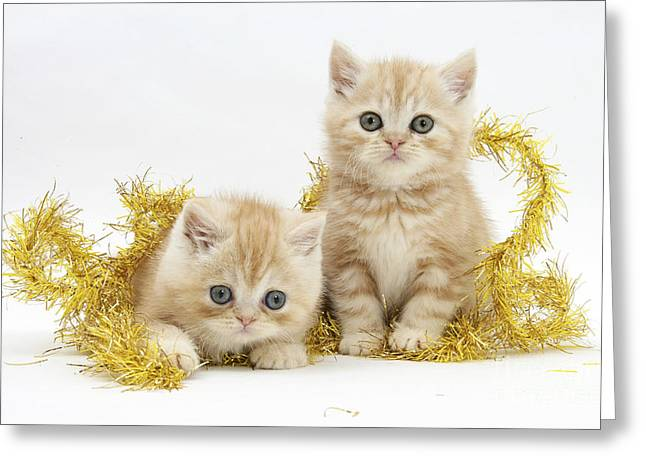 House Pet Greeting Cards - Ginger Kittens Greeting Card by Mark Taylor