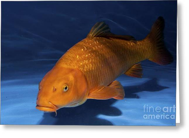 Pisciculture Greeting Cards - Ginrin Chagoi Ko Greeting Card by PhotoStock-Israel